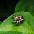 Jumping spider on green leaf — Stock Photo