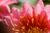 ピンクの睡蓮 — ストック写真