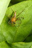 Araña salta en hoja verde — Foto de Stock