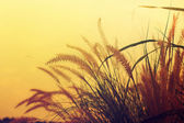 Grass Plumes — Stock Photo