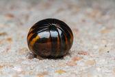 Millipede on floor — Stock Photo