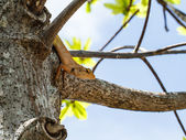 хамелеон на дереве — Стоковое фото