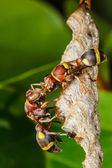 Wasp builds a nest — Stock Photo