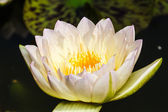Yellow lotus — Stock Photo