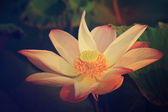 Lotus sind blühen. — Stockfoto