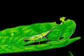 green grasshopper on grass leaf — Stock Photo