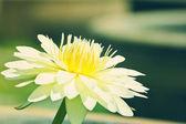 White lotua — Stock Photo