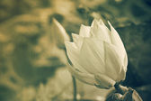 Lotus are blooming. — Stock Photo