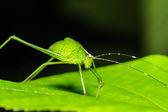 Strange grasshopper — Stock Photo