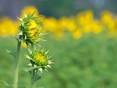 Prima di fiore — Foto Stock