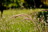蓬松草 — 图库照片