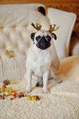 Pug on a holiday — Stock Photo