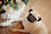 Perro un perro pug — Foto de Stock