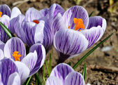 Tulipanes de la primavera — Foto de Stock