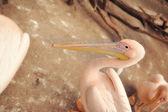 Pelican — Stock Photo