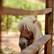 Stock Photo: Pony with white mane