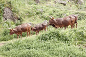 Bull Tudanca — Stock Photo