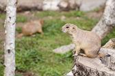 Prairie dog — Stock Photo