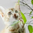 Domestic Cat — Stock Photo #13709546