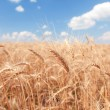 Golden wheat field and blue sky background — Stok fotoğraf