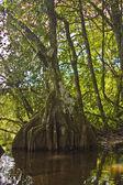 Tropical tree Marais de Kaw — Stock Photo