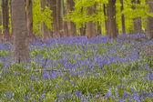 Bluebells under beech trees — Stock Photo