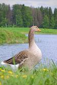 Goose — Stockfoto