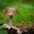 Stock Photo: Boletus