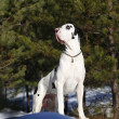 Harlequin great dane in the forest — Stock Photo #41717701