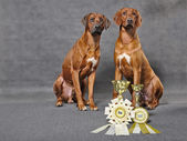 Rhodesian ridgebacks with prizes — ストック写真
