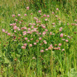 Clover — Stock Photo #29461529