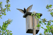 Starling sits on a birdhouse — Stock Photo