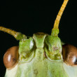 Green Cricket Head — Stock Photo