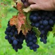 Stock Video: Grape picking