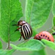 Stock Video: Colorado Potato Beetle Larvaagricultural, agriculture, animal, beetle, bug, close-up, closeup, colorado beetle, crawled, damage, eating, feeding, focus, greed, green, grub, insect, larva, larvae, leaf