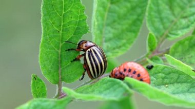 Colorado Potato Beetle Larvaagricultural, agriculture, animal, beetle, bug, close-up, closeup, colorado beetle, crawled, damage, eating, feeding, focus, greed, green, grub, insect, larva, larvae, leaf — Stock Video