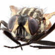 Stock Photo: Housefly Macro Close up Cutout