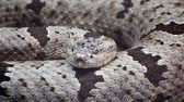 Banded Rock Rattlesnake — Stock Photo