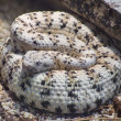 Southwestern Speckled Rattlesnake — Stock Photo