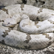 Stock Photo: TamaulipRock Rattlesnake