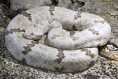 Tamaulipan Rock Rattlesnake — Stock Photo