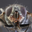 Housefly Macro — Stock Photo