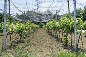 Vineyard Net — Stock Photo