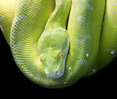 Green Tree Python — Stock fotografie