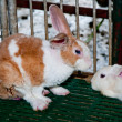 Family of rabbit — Stockfoto
