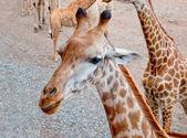 La jirafa — Foto de Stock