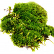 Closeup moss isolated on white background - Stock Photo
