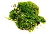 Closeup moss isolated on white background — Stock Photo