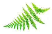 Closeup fern leaf isolated white background — 图库照片