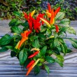 Colorful of chili — Stock Photo